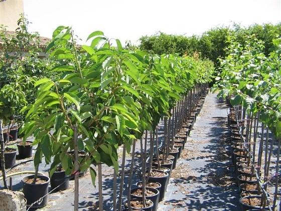 petit arbre fruitier arbres fruitiers pour petits jardins am nagement petit jardin devant la. Black Bedroom Furniture Sets. Home Design Ideas
