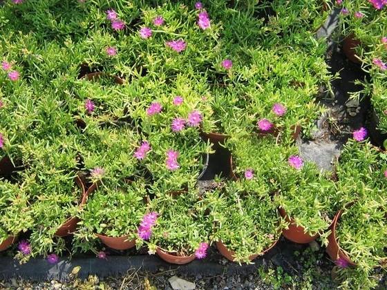 Arbuste Persistant En Pot