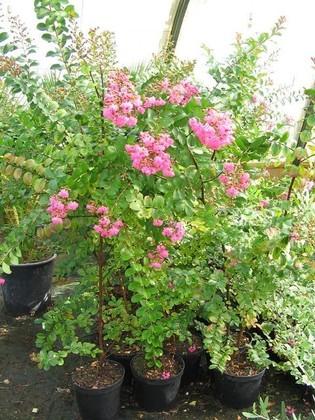 Arrosage du laurier rose en pot - Arrosage laurier rose en pot ...