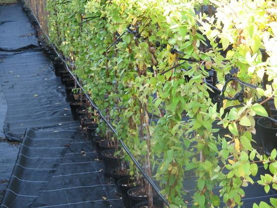 Plantes grimpantes feuillage persistant sur grillage maison design - Lierre grimpant sur grillage ...
