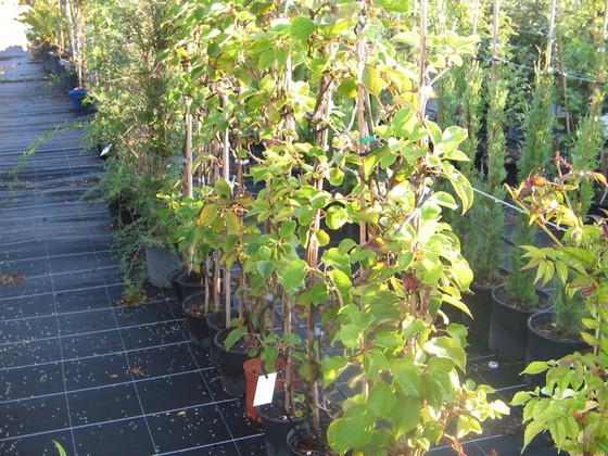 planter un kiwitier autofertile