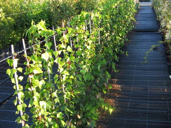 pepinieres aillaud venelles plantes grimpantes. Black Bedroom Furniture Sets. Home Design Ideas
