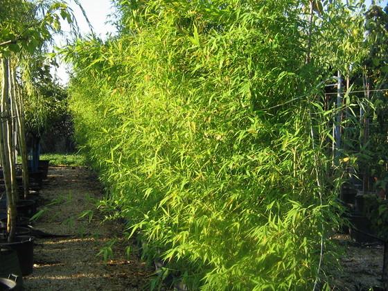 Pepinieres aillaud venelles plantes de haies for Phyllostachys aurea en pot