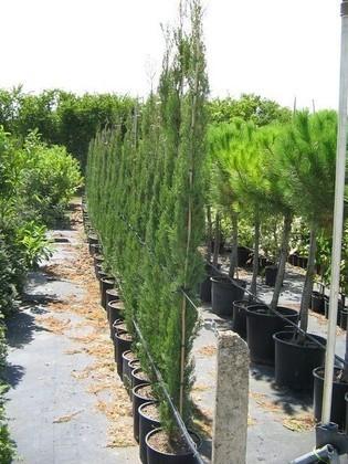 Pepinieres aillaud venelles coniferes - Cypres de florence totem ...