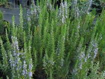 Pepinieres aillaud venelles plantes aromatique et vivaces - Tailler orchidee apres floraison ...