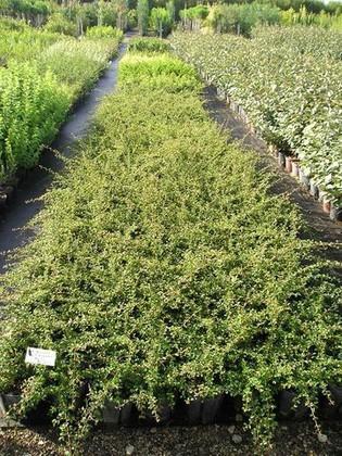 pepinieres aillaud venelles plantes couvre sol. Black Bedroom Furniture Sets. Home Design Ideas