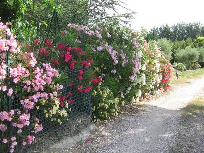Pepinieres aillaud venelles arbuste a fleur - Laurier tige en pot ...