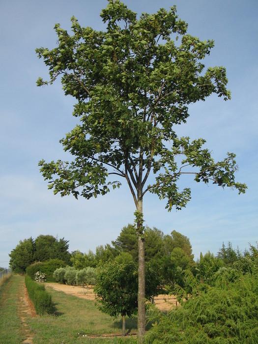pepinieres aillaud venelles arbre d 39 ornement et d 39 ombrage. Black Bedroom Furniture Sets. Home Design Ideas