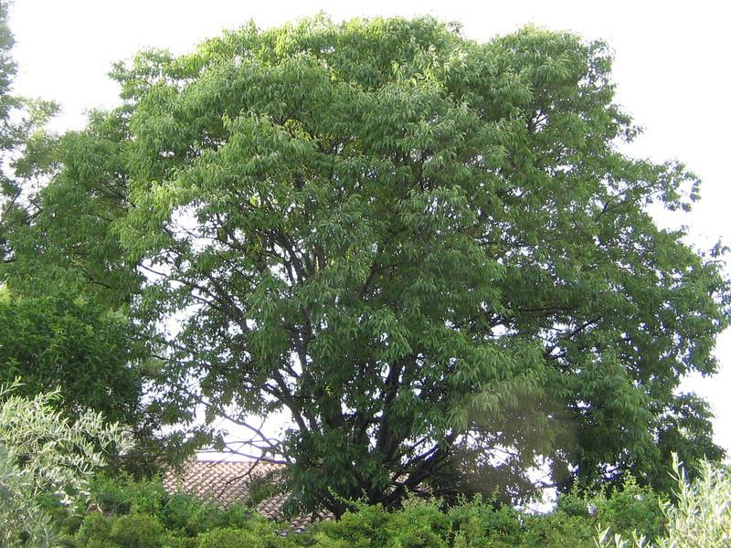 Pepinieres aillaud venelles arbre d 39 ornement et d 39 ombrage - Arbre provencal ...