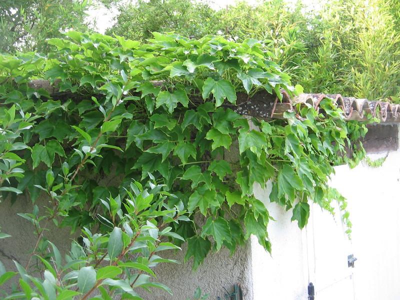 Pepinieres aillaud venelles plantes grimpantes for Arbuste en anglais
