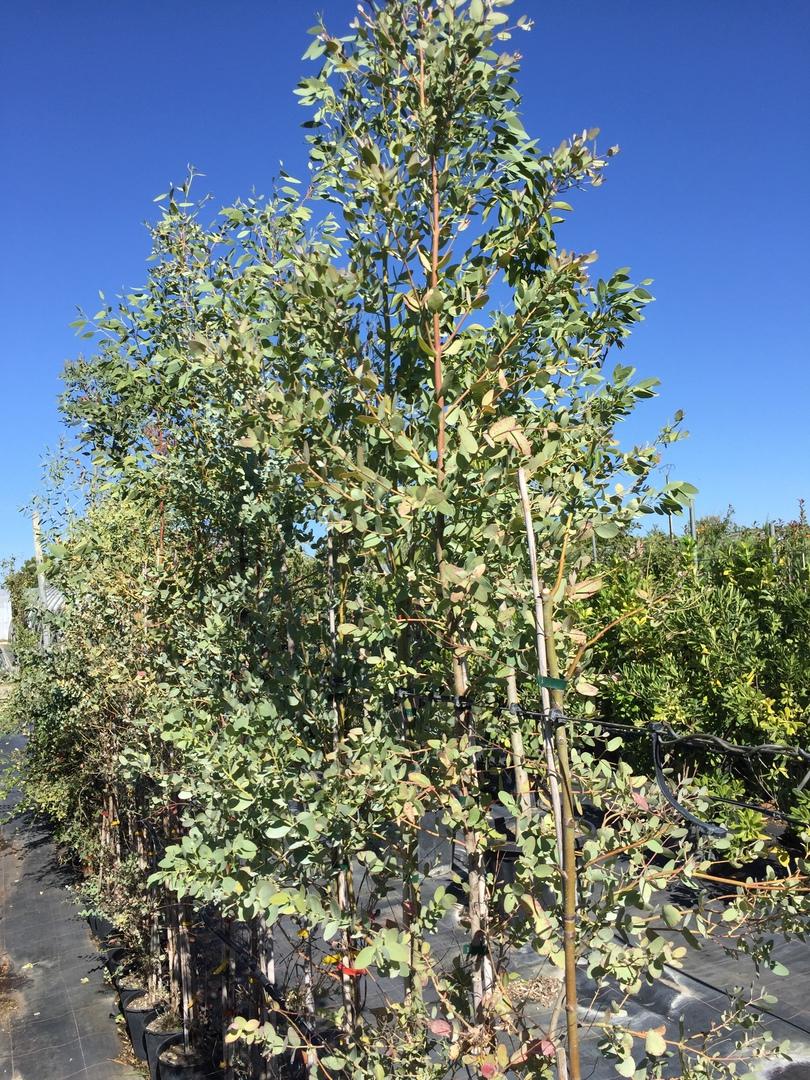 Arbre a croissance rapide arbre parasol croissance rapide images arbres et arbuste a - Haie croissance rapide feuillage persistant ...