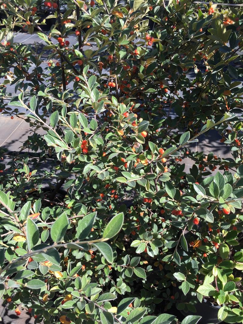 pepinieres aillaud venelles - plantes de haies