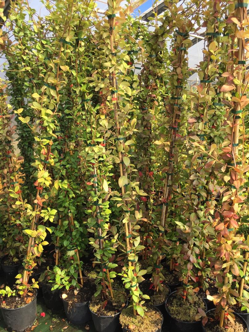 pepinieres aillaud venelles - plantes grimpantes
